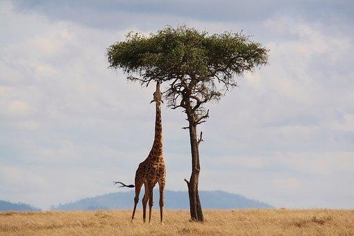 imagen de una jirafa comiendo